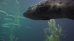 Giant fish waits and watches Stock Footage