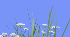 Apiaceae Plants Grass on Blue Screen Green Leaves Grass Plants on a Dry Stalks Stock Footage