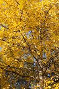 Yellow aspen foliage at autumn Stock Photos
