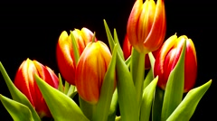 Tulip Flower Time-lapse - stock footage