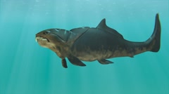 Dunkleosteus Swimming In Circles Animation - stock footage