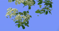 Spiraea Branch Leans Down White Flowers on Blue Screen Green Leaves Thin Green Stock Footage