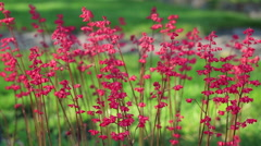 Red coral bell flowers swaying in the wind Stock Footage