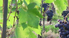 Sangiovese grapes and vineyards, Panzano in Chianti, dolly, close-up Stock Footage
