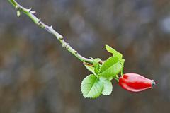Rose-hip Stock Photos