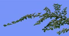 Branch of Decorative Shrub Flower Buds Green Glossy Leaves Branch is Swaying Stock Footage