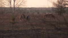 Przewalski's wild horses eating dry grass at Chernobyl zone of alienation - stock footage