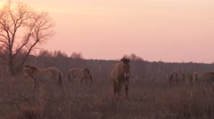Przewalski's wild horses eating dry grass at Chernobyl zone of alienation Stock Footage