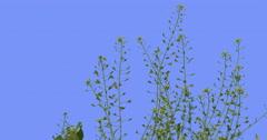 Capsella Field Grass Wild Flowers on Blue Screen Biennial Herbaceous Plants Stock Footage