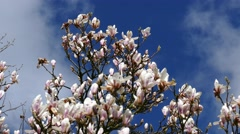 Magnolia tree with white blossom. Stock Footage