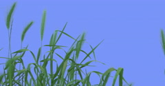 Few Ears Weeds Green Grass Leaves Plants Grow Thin Green Young Stalks Are Stock Footage
