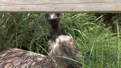 Emu Bird Eating Grass Stock Footage