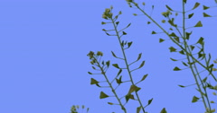 Capsella White Flowers Small Leaves Wild Flowers on Blue Screen Biennial Stock Footage