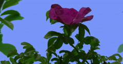Violet Flower of Blooming Rose Bush Green Oval Leaves Bush is Swaying at the Stock Footage