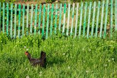 Chicken on traditional free range poultry farm - stock photo
