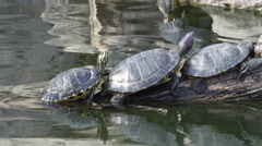 Turtles sunning, one turns head at :09 Stock Footage