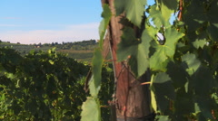 View of Panzano in Chianti from vineyard of Sangiovese grapes, close-up, dolly Stock Footage