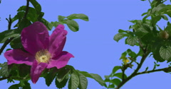 Violet Flower Fluttering Petals of Blooming Rose Bush on Blue Screen Green Oval - stock footage