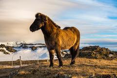 Icelandic Horse in paddock Stock Photos