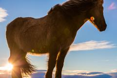 Icelandic Horse close-up with lens flare Stock Photos