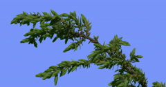 Coniferous Shrub Branch is Swaying Plant Young Tree Green Needle-Like Leaves Stock Footage