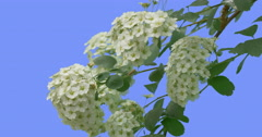 White Flowers of Spiraea Young Shrub on Blue Screen Green Leaves Thin Green Stock Footage