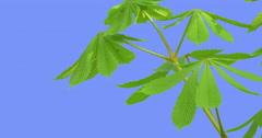 Chestnut Tree Stalk Young Leaves Castanea Green Fresh Leaves Are Fluttering at Stock Footage