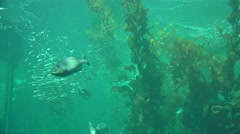 Aquarium, Monterey Bay kelp forest Stock Footage