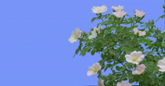 White Flowers on Blooming Rose Bush Green Oval Leaves Bush is Swaying at the Stock Footage