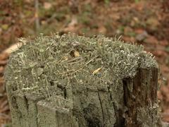Cladonia sp. lichen on a stump - stock photo