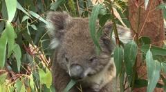 Koala bear climbing Stock Footage