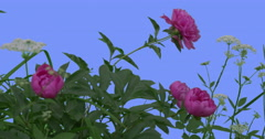 Pink Peonies White Umbelliferae on Blue Screen Green Leaves Grass Blooming Stock Footage