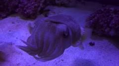 Cuttlefish ,Monterey Bay Aquarium, Stock Footage