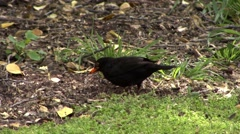 Black Bird New Zealand Stock Footage