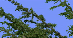 Coniferous Shrub Plant Young Tree Green Needle-Like Leaves Tree Branches Are Stock Footage