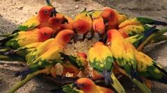 Parrot Sun Conure, Aratinga solstitialis in Safari World. Bangkok, Thailand Stock Footage