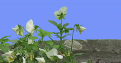 White Viola Tricolor Near Paved Road Flower Green Leaves Grass on Blue Screen Stock Footage