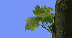 Maple Tree Trunk Young Outgrowth Leaves Green Fresh Leaves Are Fluttering at Stock Footage