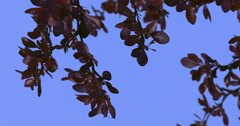 Barberry Concorde Fluttering Leaves Purple Shrub Branch Dwarf Globe Shaped Stock Footage