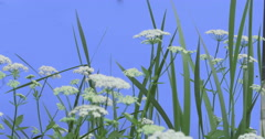 Apiaceae Among Grass on Blue Screen Green Leaves Grass Plants on a Dry Stalks Stock Footage
