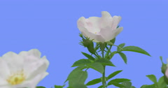 Fluttering White Flower Buds of Blooming Rose Bush Yellow Stamens in a Middle Stock Footage