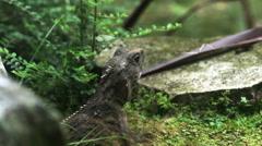 Close up of a tuatara lizard Stock Footage