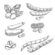 Coffee grains, pea, peanus and beans Stock Illustration