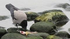 Birds eating sharing innards fish Stock Footage