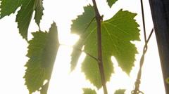 Vine leaves against the sun - slider Stock Footage