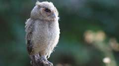 The collared scops owl  Stock Footage