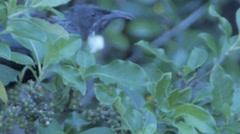 New Zealand Bird - Tui Stock Footage