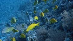 Active flock gold goatfish. Stock Footage