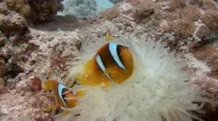 Symbiosis of clown fish and anemones the Red sea near Egypt - stock footage
