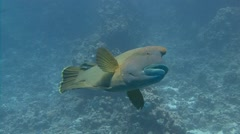 Diving in the Red sea near Egypt. Dive with big fish Napoleon. - stock footage